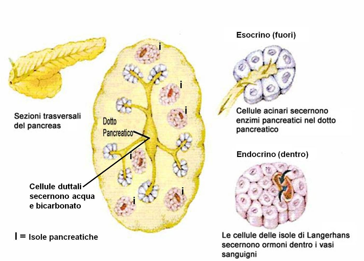 Funzione pancreas endocrino-esocrino + secrezione bicarbonati