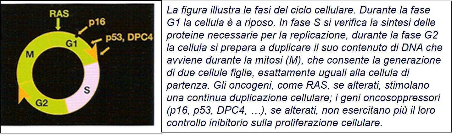 BA Ciclo cellulare-oncogeni-oncosoppressori